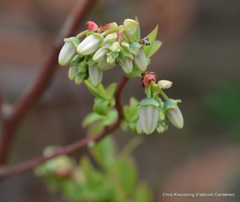Flower Buds, Vaccinium, Blueberry