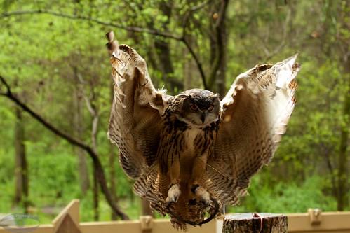 Owl in Flight 1214