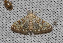 Synclera traducalis (Crambidae: Spilomelinae)