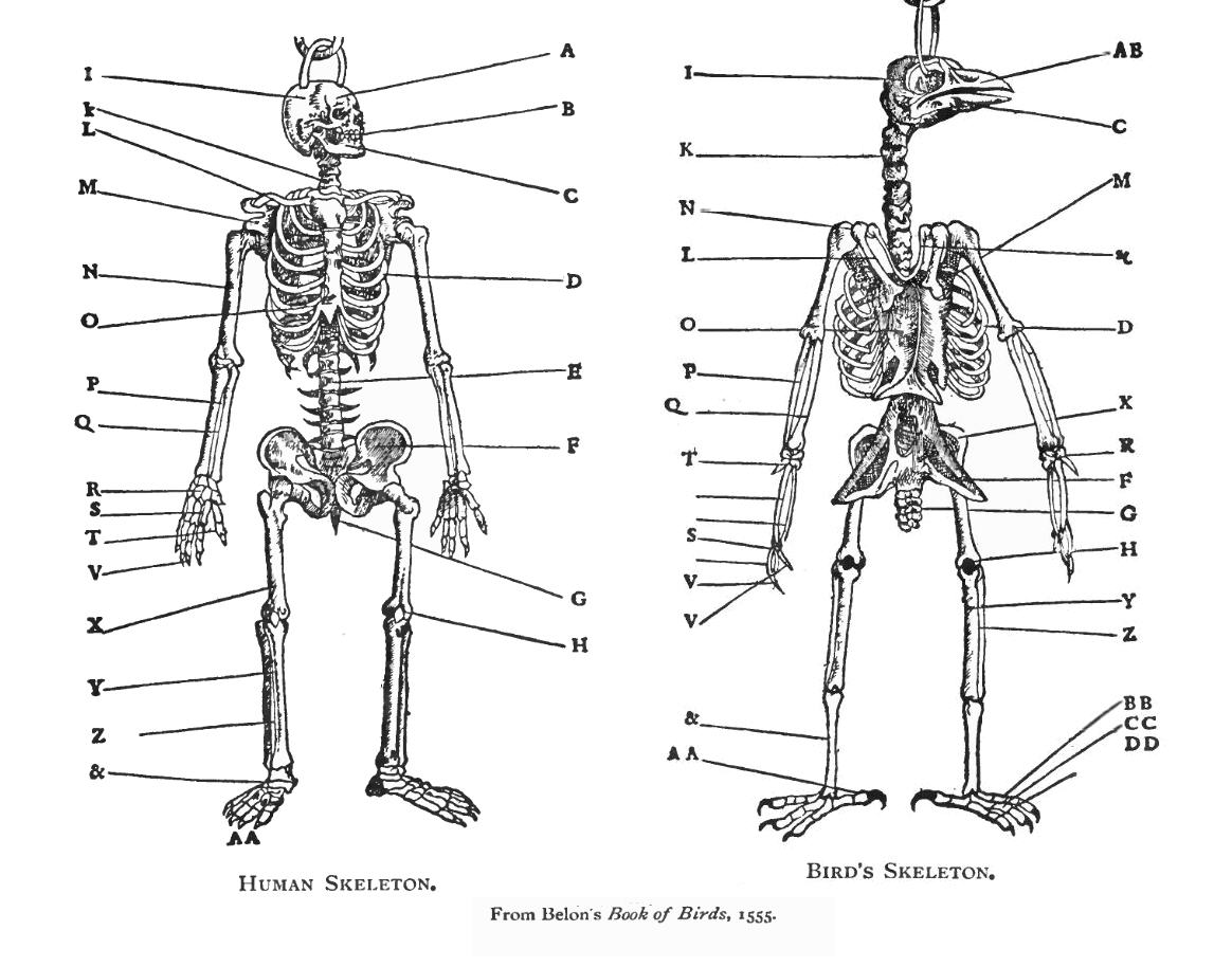 Comparative Skeletal Anatomy