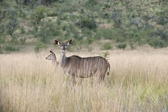 adventure(0.0), deer(0.0), waterbuck(0.0), animal(1.0), prairie(1.0), antelope(1.0), plain(1.0), mammal(1.0), herd(1.0), fauna(1.0), white-tailed deer(1.0), kudu(1.0), savanna(1.0), grassland(1.0), safari(1.0), wildlife(1.0),