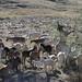 Goats - Cabras; camino de Santa Rosa de Júarez a Santiago Yucuyachi, Oaxaca, Mexico por Lon&Queta
