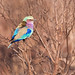 Lilac-Breasted Roller (rainbow bird) by Domenico Di Cola