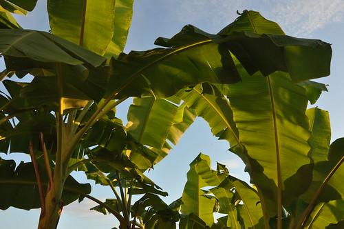 plants thailand banana musaceae chiangkhong ประเทศไทย เมืองไทย พระอาทิตย์ขึ้น ดวงอาทิตย์ขึ้น