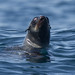 Pinnipeds (Seals, Sea Lions and Fur Seals)
