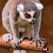 Lemur on a branch