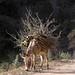 Burro cargando leña - Mule carrying firewood- Coicoyán de las Flores, Oaxaca, Mexico por Lon&Queta