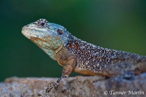 africa blue head lizard zimbabwe agama redcliff blueheadedlizard bloukopkoggelmander koggelmander bloukop blueheadagama