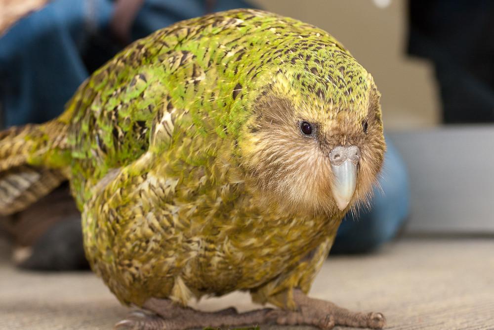 Какапо или совиный попугай- - 7