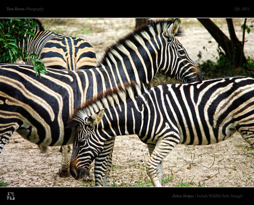 Zebra Stripes by TomRaven