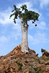 tree, adansonia, landscape, rock,