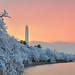 Washington Monument with Cherry Trees at dawn