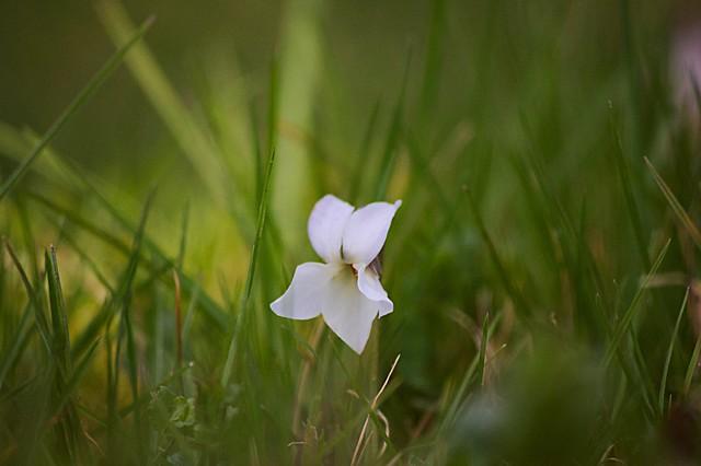 Violette blanche - Viola Alba