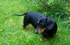 hound(0.0), puppy(0.0), jagdterrier(0.0), pinscher(0.0), austrian black and tan hound(0.0), polish hunting dog(0.0), dog breed(1.0), animal(1.0), dog(1.0), finnish hound(1.0), transylvanian hound(1.0), serbian tricolour hound(1.0), carnivoran(1.0),