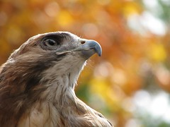 Bailey the Red-Tailed Hawk