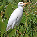 Cattle Egret, Liwonde (Malawi), 26-May-11 by Dave Appleton