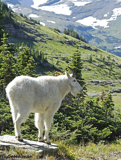 Mountain goat,  Glacier National Park (2)