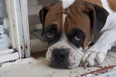 puppy(0.0), british bulldogs(0.0), dog breed(1.0), animal(1.0), dog(1.0), old english bulldog(1.0), pet(1.0), olde english bulldogge(1.0), toy bulldog(1.0), american bulldog(1.0), carnivoran(1.0), boxer(1.0),