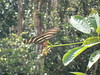 Butterfly Big Cypress Preserve
