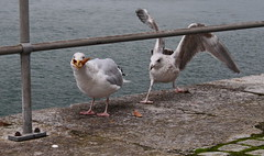 Seagull eating a starfish photobomb