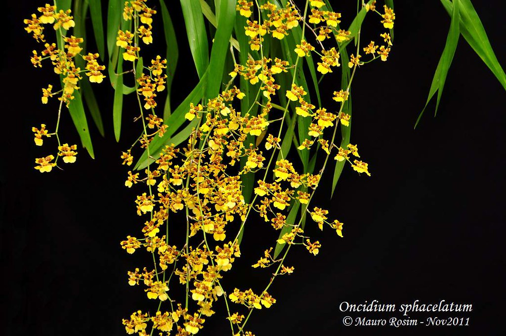 Oncidium likewise 13460 Orchid Blooms Water Culture as well Quels Soins Pour Orchidee 3663 as well Tillandsia Usneoides P 1073 in addition Pro. on oncidium orchid