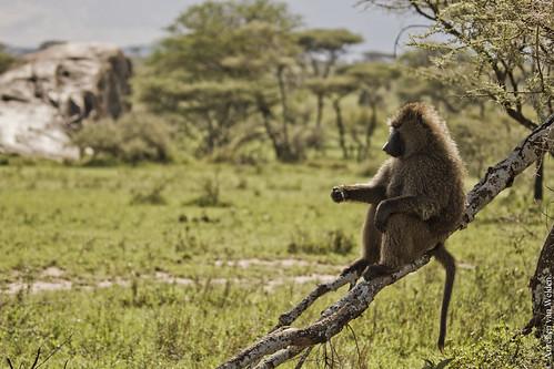 Serengeti NP - Baboon