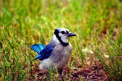 eurasian magpie(0.0), animal(1.0), perching bird(1.0), nature(1.0), fauna(1.0), blue jay(1.0), beak(1.0), bird(1.0), wildlife(1.0),