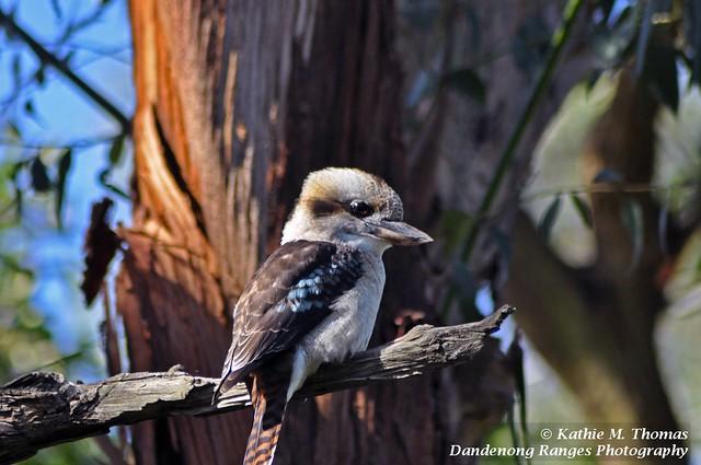 71-366 Australian Laughing Kookaburra