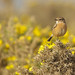 Female Stonechat by Alistair Prentice.