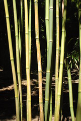 leaf, bamboo, grass, tree, green, plant stem,