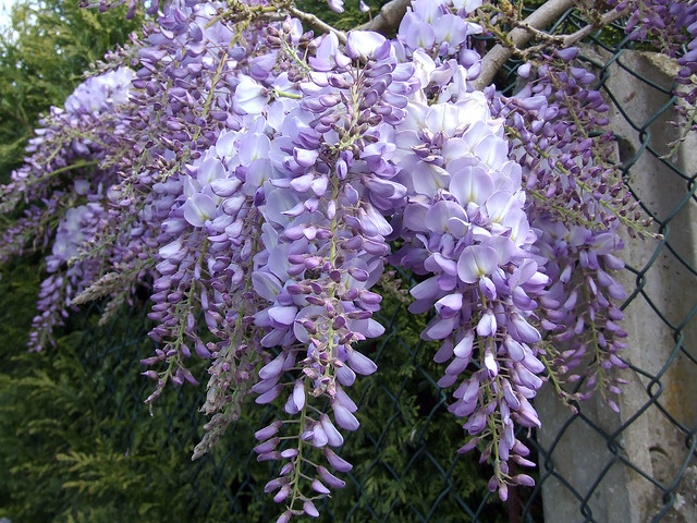 how to start growing wisteria