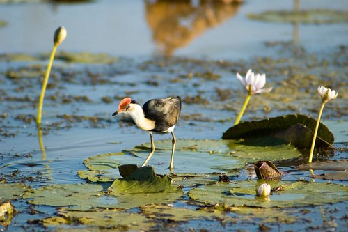 Comb Crested Jacana in billabong