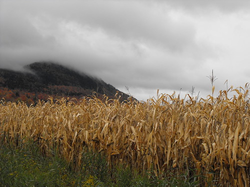 Late fall corn field