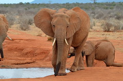 Family of Wild Elephants in Kenya