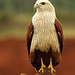 Brahminy Kite...perched on a typical mound... by itsrbtime