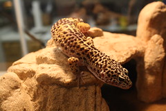 animal, reptile, lizard, fauna, close-up, scaled reptile, wildlife,