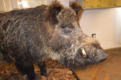 animal, wild boar, domestic pig, pig, fauna, pig-like mammal, warthog,