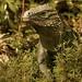 Small photo of Cayman Blue Iguana