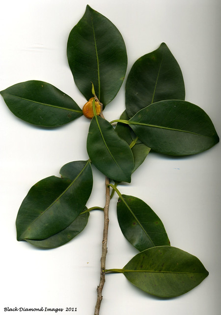 Topside - Ficus obliqua - Small-leaved Fig