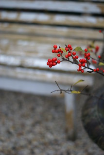 yellow leaves out - red berries in