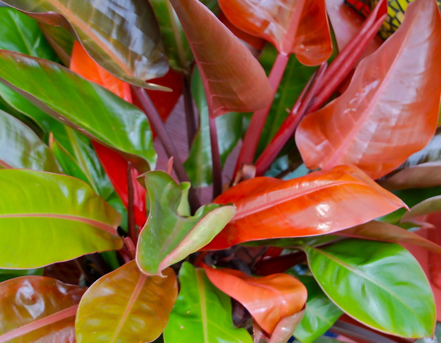 Philodendron 'Prince of Orange' | Flickr - Photo Sharing!