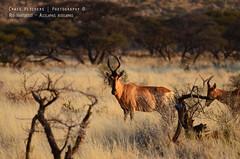 Red Hartebeest - Alcelaphus buselaphus