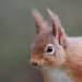 Red Squirrel Close-up 1 (Sciurus vulgaris) 0339