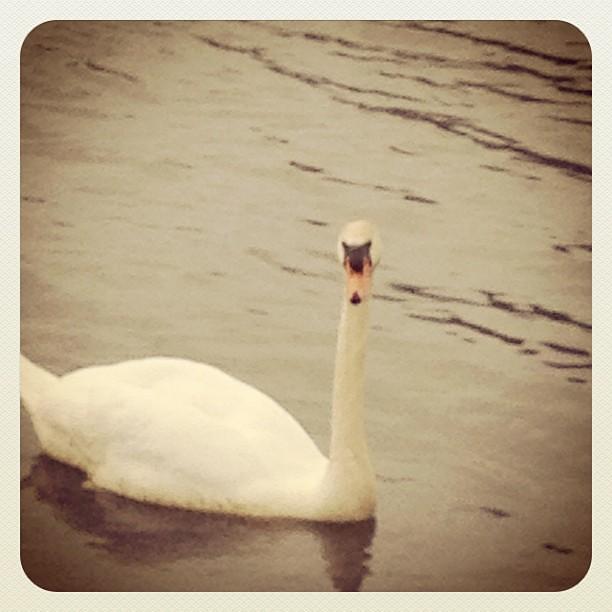 Swan walk at bazil's