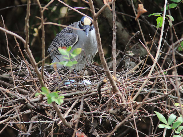 Yellow-crowned Night-Heron female with eggs 20120327