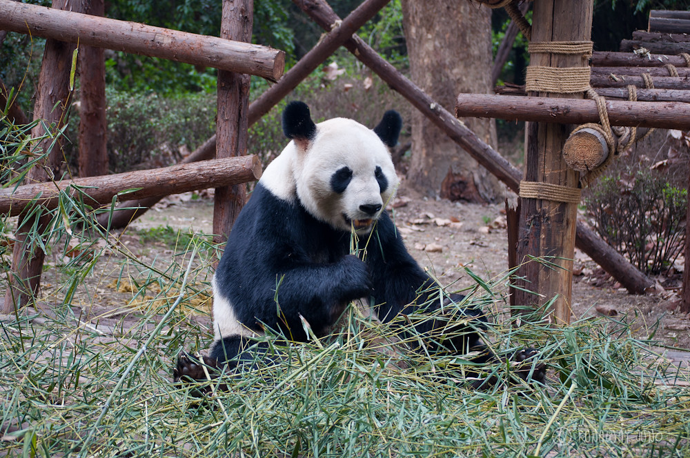 Giant_Panda_eating_Chengdu_Sichuan_China3