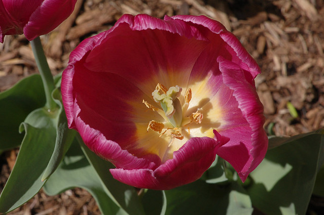 View inside a tulip cup 2