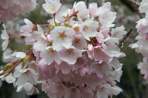 Cherry blossoms - Spring at the Ballard Locks - Seattle