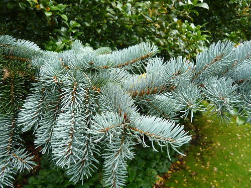 Blue conifer