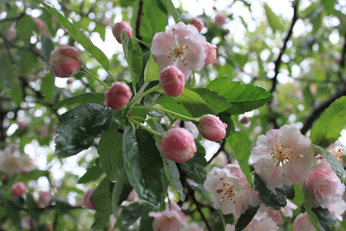Crab Apple - it's raining